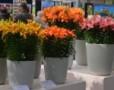 Expozitie de crini multicolori la Keukenhof