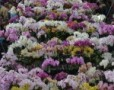 Expozitie de Orhidee la Keukenhof