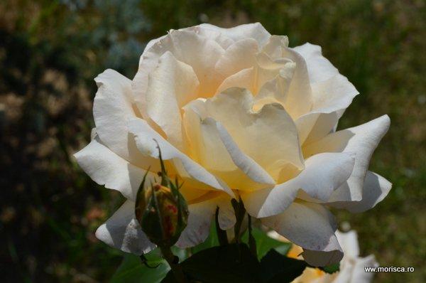 Trandafir inflorit - vara la Brasov