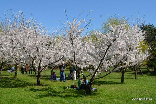 Ciresii albi infloriti in Gradina Japoneza din Parcul Herastrau