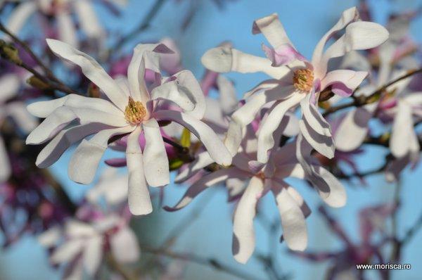 Magnolii inflorite in Bucuresti