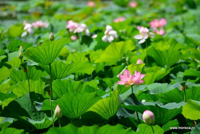 Nuferi roz infloriti in Parcul Circului din Bucuresti