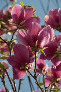 Bucuresti_magnolii