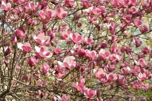 Bucuresti_magnolii_2