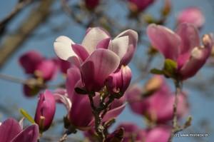 Bucuresti_magnolii_3