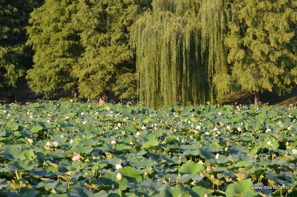 Nuferi lac Parcul Circului Bucuresti