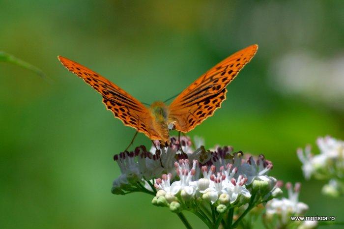 Fluture portocaliu la Baile Tusnad