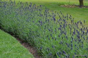 Lavanda la Christ Church Cathedral in Oxford (Marea Britanie)