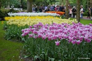 Lalele inflorite in Parcul Keukenhof din Olanda