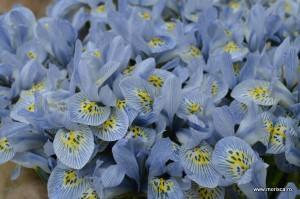 Flori de primavara Keukenhof Olanda