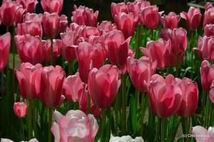 Lalele inflorite parcul Keukenhof Olanda
