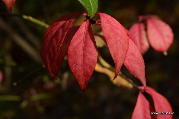 Frunze rosii toamna