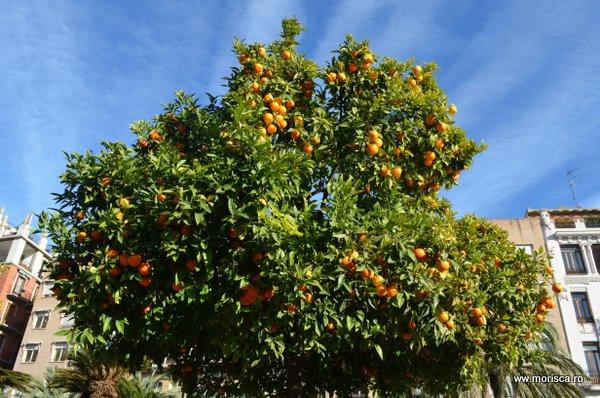 Portocale coapte in Valencia - Spania