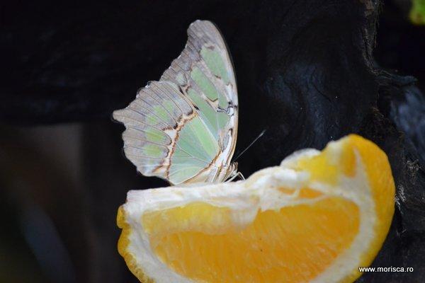 Fluturi tropicali la la Fjarilshuset (Butterfly House) in Hagaparken din Stockholm
